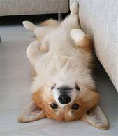 20+ Süße Corgi-Hundebilder, die Sie lieben werden