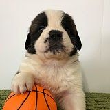 St Bernard Puppies For Sale In Nc St Bernard Puppies For Sale