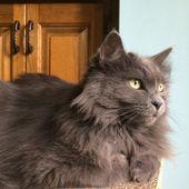Entdecken Sie die russischen blauen Katzen   – Cats like Sage (Nebelung)