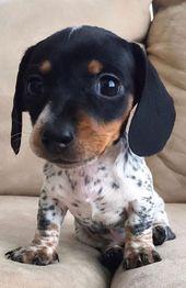 An Adorable Dachshund Dog Puppy