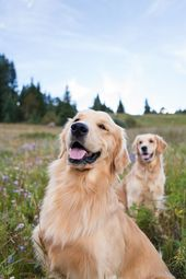 Golden Retriever en las Montañas Rocosas por Allison Mae Photography – Golden R …   – Hund
