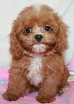 Golden Doodles Cavapoos Maltipoo Puppies For Sale And Rescue
