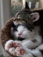 Katzen, die denken, dass sie Menschen sind