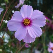 Ich Liebe Diese Zarten Bluten Der Cosmea Ihre Zarten Bluten Erfreuen Uns Gartenblumen Garten Gartenblumen Gartenblumenideen
