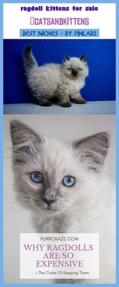 Ragdollkittens Katzchen Chocolate Verkaufen Ragdoll Kittens Chatons Bicolor Gatitos Persian Teacup In 2020 Ragdoll Kitten Ragdoll Kittens For Sale Kittens
