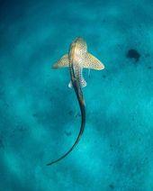 ¡Ni siquiera puedo manejar esta imagen de tiburón cebra! Mi tiburón favorito y …   – Tiere