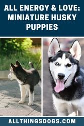 Miniature Husky Puppies #miniaturehusky Filled with so much love and energy, the…  – Bebek