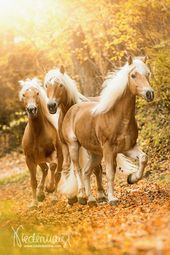 Haflinger – Pferdefotografie, Hundefotografie, Fotografie Bettina Niedermayr Pfe…