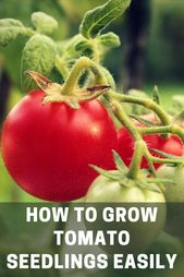 Pruning your Tomato Plants