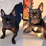 Frenchbulldog Rosshagen Ms Lu 1 Year Old Female Frenchie