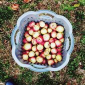 Wie war deine letzte Apfelernte? Sie ist immer noch sehr gut mit uns, leiden …   – Gartentipps