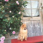 お座り上手ね ポメラニアン エマ Pom 愛犬 癒しわんこ オレンジポメ ポメちゃん Pomeranian Orangepome Dog Pomeranians Pomeranianworld ポメラニアンが世界一可愛い ポメラニアン大好き