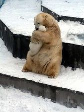 Warum das Foto eines Mutter-Eisbären, der ihr Baby in der Zoo-Einschließung umarmt, alles andere als nett ist   – Creatures