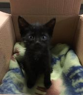 A Tiny 5 Week Old Kitten Was Found Wandering Around The Streets All Alone When A Young Man Picked Him Up At The Shelter He Fell Kitten Little Kittens Animals