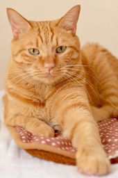 An Orange Tabby With Facial Markings And Nose Spot White Tabby Cat Baby Cats Orange And White Cat