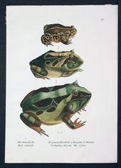 Reptiles, anfibios y animales exóticos – Tuatera Blog: GALERÍA de grabados y …   – Frog illustrations