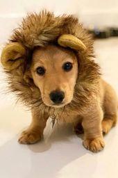 A Cutest Dachshund Dog Puppy