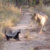 The Honey Badger has a reputation for being the most fearless animal on the planet.