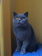 British Shorthair Blue Males For Sale In Ripley Derbyshire