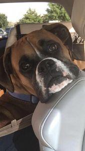 """Obtenga consejos maravillosos en """"Boxer Puppies"""". En realidad son accesibles para …   – boxer"""