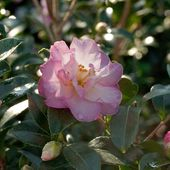 Southern Living Plant Collection 2 Gal. October Magic Orchid Camellia(sasanqua) – Live Evergreen Shrub with White-blush Blooms that taper to Pink Edges-79602