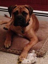 Atlas almost six months. My Bullmastiff Puppy.   – Pets