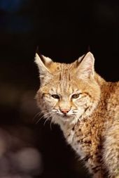 What Types Of Wild Cats Live In New York Wild Cats Types Of Wild Cats Cats