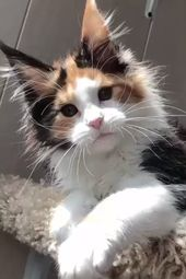 Sind Maine Coon Katzen hypoallergen?