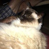 Watching TV. Missing my human living in Europe! #ragdoll #cat #ragdollsofinstagr…