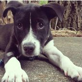 American Staffordshire Terrier Lab Mix Harlow Puppy