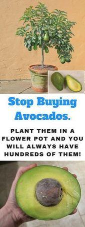 Wie man einen Avocado-Baum in einem kleinen Topf zu Hause wachsen lässt
