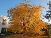 #kirschbaum #herbst #jesien #autumn #czeresnie #baum    – Gartengestaltung