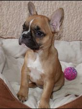 Red Fawn Pied French Bulldog Puppy French Bulldog Pied French