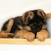 Tolle Informationen zu German Shepherd finden Sie auf unserer Website. Schauen Sie rein und …