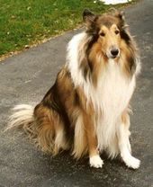 Top 3 Friendliest Dog Breeds Hunde Friendly Dog Breeds Collie Breeds Rough Collie