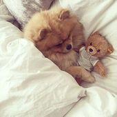 Pomeranian Tips  – Animalisch