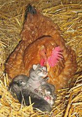 18 exemples de poules ayant adopté d'autres animaux qui prouvent que ce sont les meilleures mamans du règne animal.