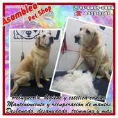 #Noviembre a cada máquina. Este hermoso Labrador que vino por su aplanamiento. a…  – Alimento y artículos para mascotas