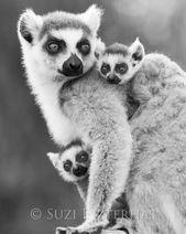 Dschungel Kinderzimmer Dekor, Baby RING-TAILED Lemur und Mama Foto, Schwarzweiß-Druck, Baby Tier Foto
