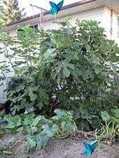 Fig Tree Pruning How To Trim A Fig Tree Br Garten Pflanzen Feigenbaum Pflanzen