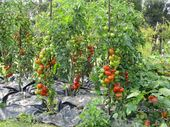 Photo of Tomatoes without Chemistry Once upon a time experience