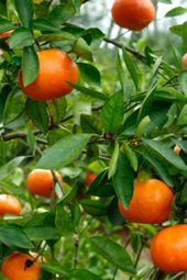 Wachsende Orangenbäume   – Growing a garden