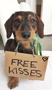 A Cute Doxie Dog Asking For Free Kisses