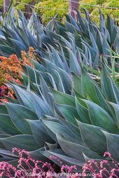 Agave 'Blue Flame', silver blue gray foliage succulent in drought tolerant g…