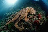 Photographic Print: Octopus (Octopus Vulgaris) by Reinhard Dirscherl : 24x16in 2