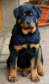 Top 5 Best Family Guard Dog Breeds Protective Dog Breeds Protective Dogs Rottweiler Dog
