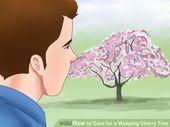 Pflege für einen weinenden Kirschbaum   – Gardens