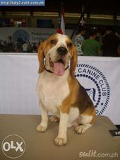 Stud Beagle Champion And Show Winner 4 Dogs To Choose From For
