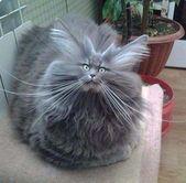 Estos gatos son increíblemente esponjosos: ¡gatos!   – katzen