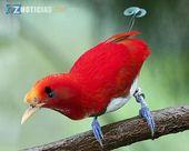 ave del paraíso (Cicinnurus regius) se distribuye por todo el bosque …   – Aves bellas y raras